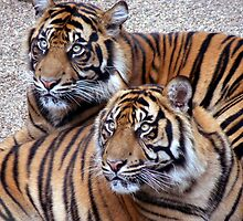 sumatran tigers at dudley zoo by AngelaFoster