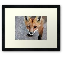 Please Feed Me - Red Fox Framed Print