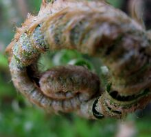 Fiddlehead by Carmen Hellofs