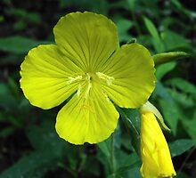 Yellow Morning Primrose by JRobinWhitley