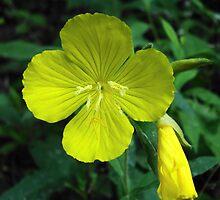 Yellow Morning Primrose by JRobinWhitley