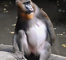 Mandrill at the Bronx Zoo by Ann E.  Chapman