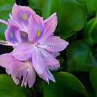 Lavender Water Hyacinth by SRowe Art