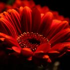 Let Gerberas Speak by karina5