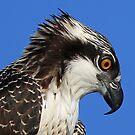 Juvenile osprey profile by jozi1