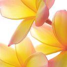 Yellow Frangipani by AnnieD