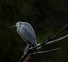 White-Faced Heron by margotk