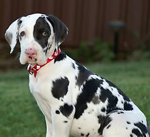 Great Dane Puppy by sachapacker