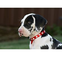 Great Dane Puppy Photographic Print