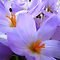 Autumn Crocus by Madonna McKenna