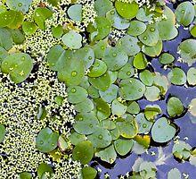 Pond lilies by Juha Sompinmäki