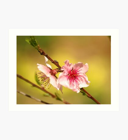 Peach Flower Art Print