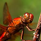 Big Red 2008 - - libellula croceipennis  (Neon Skimmer dragonfly) by Dennis Jones - CameraView