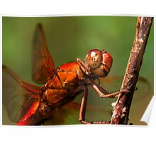 Big Red 2008 - - libellula croceipennis  (Neon Skimmer dragonfly) Poster