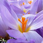 Autumn Crocus 2 by Madonna McKenna