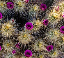 Blooming Cactus by BGSPhoto
