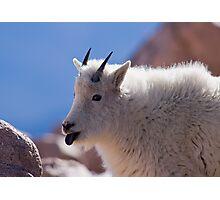 Goats Like Lickin' Lichen Photographic Print