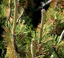 Some Kind of Pine by Stephen Thomas