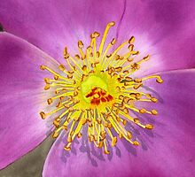 Burst of Beauty Watercolor by AngelaBishop