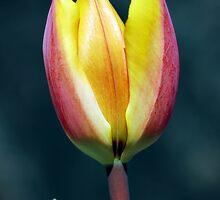 Tulip by Xandru