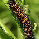 Caterpillar by BigD