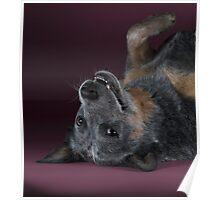 Australian cattle dog Gips. Print version Adobe-RGB Poster