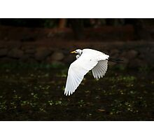 Egret in Flight Photographic Print