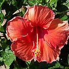 Orange Hibiscus Flower by Glenna Walker