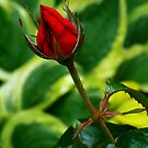 Red Rose Bud by Mark Wilson