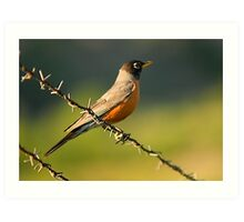 Robin on Barbed Wire Art Print
