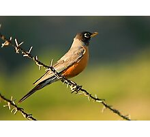 Robin on Barbed Wire Photographic Print