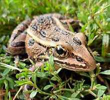 Brown Frog in the Grass - Nature and Wildlife Photography by Barberelli