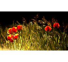 Poppies Hard Light Photographic Print