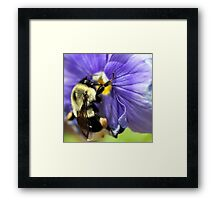 Bumble Bee on Pansy Framed Print