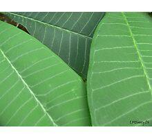 Plumeria Leaf Study (pic1) Photographic Print