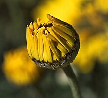 Daisy Yellow by Joy Watson
