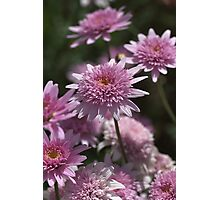 Federation Daisies Photographic Print