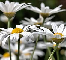 Heights of daisies by Joy Watson