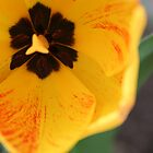 Yellow Tulip by Unwritten75
