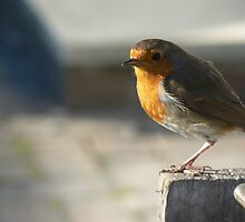 A thoughtful robin by neilgriffin