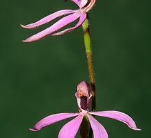 Black Tongue Caladenia. by James Peake Nature Photography.