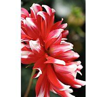 flower-dahlia Photographic Print