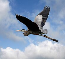 GREAT BLUE HERON  by TomBaumker