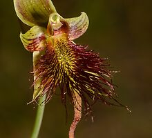 Red Beard Orchid. by James Peake Nature Photography.