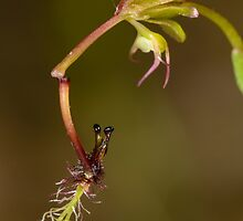 Elbow Orchid. by James Peake Nature Photography.