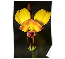 Donkey Orchid. Poster