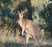 Kangaroo at Yan Yean by Pauline Tims