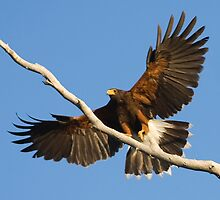 Harris Hawk Landing by Marvin Collins