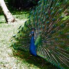 Peacock by Emasher