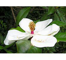 Regal Magnolia Photographic Print